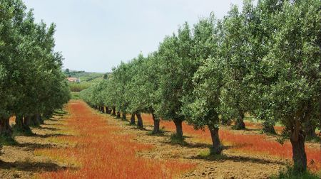 olive trees: Olives tree in colored field at Portugal.