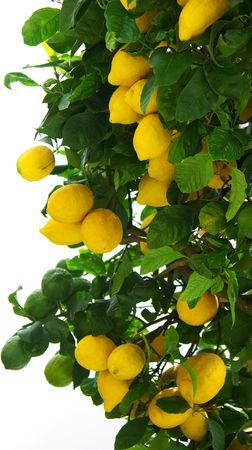 Yellow lemons on tree. photo