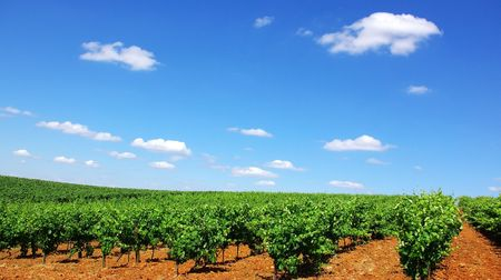 A landscape with grapevines. photo