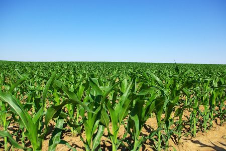 Field of young corn plants in the spring. photo