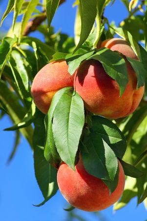 Tree of peachs.