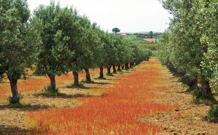 Olives tree in colored field at Portugal photo