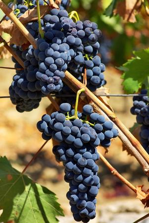 wineyard: Wineyard at Portugal. Red Grapes. Stock Photo