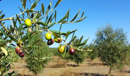 Olives In The portuguese field. photo