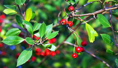 Red berries in nature. photo