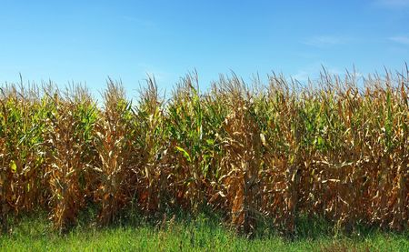 Cornfield in Autumn. photo