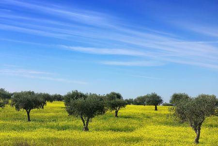 Olijf boom op een gebied van gele bloemen.  Stockfoto