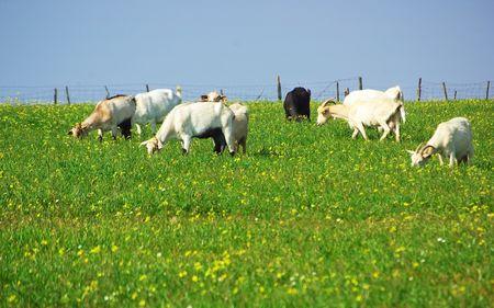 Goats  grazing in farm. photo
