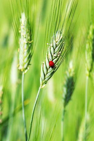 Ladybird on the green spike of wheat. photo