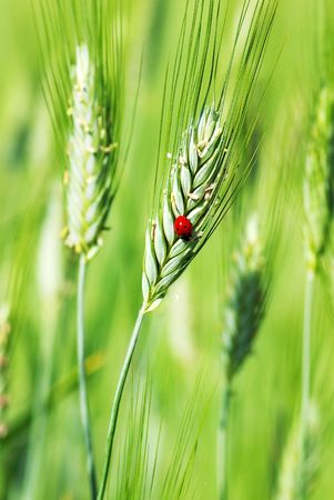 Ladybird on the green spike of wheat. photo