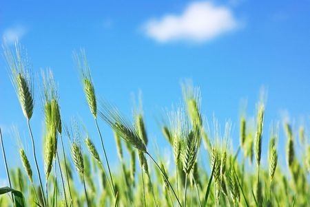 Green spikes of wheat and blue sky. photo