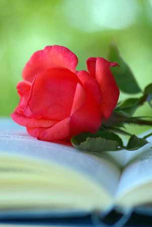 Red rose in an open book. photo