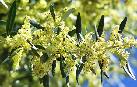 Flowers and leaves of olive tree. photo