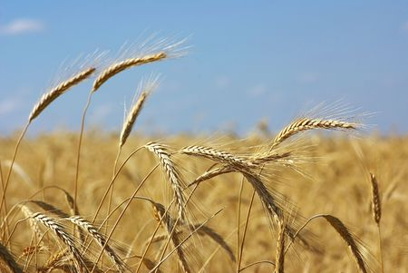 Spikes of the wheat in the yellow field. photo