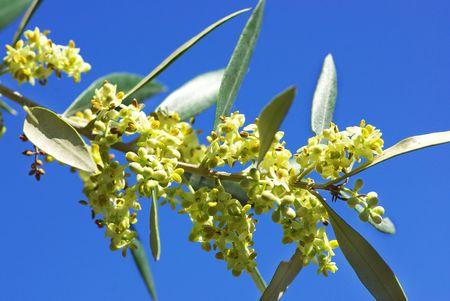Kwiaty i liście drzewa oliwnego. Zdjęcie Seryjne - 4913467