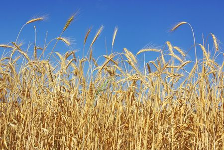 Spikes of the wheat. Stock Photo - 4938583