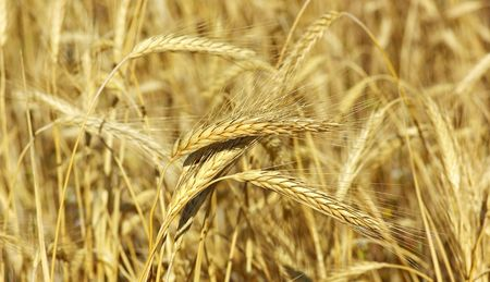 Spikes of the wheat. Stock Photo - 4938582