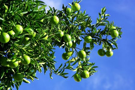 Green olives in branch.
