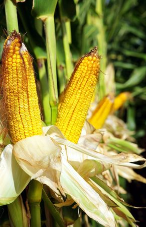 Yellow corn in agricultural field. photo