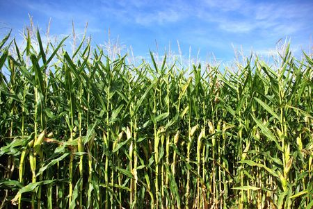 crop  stalks: Corn field at Portugal. Stock Photo