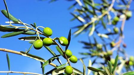 Green olives in branch. photo