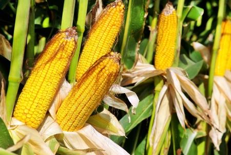 corn yellow:  Ma�z amarillo en el campo agr�cola. Foto de archivo