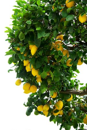 organic lemon: Lemon tree.