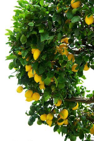 citricos: �rbol de lim�n.  Foto de archivo