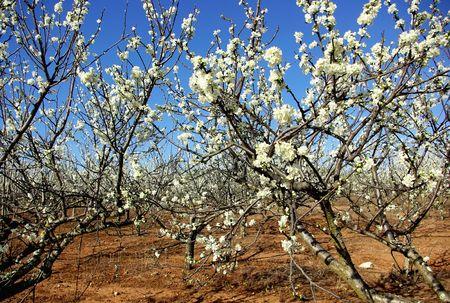 graft: Almond tree orchard