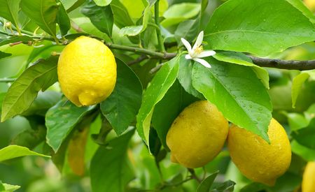 organic lemon: Mature lemons on tree.