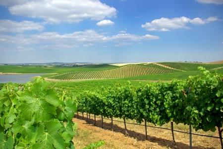 portugal agriculture: Vineyard at Portugal, Alentejo region.