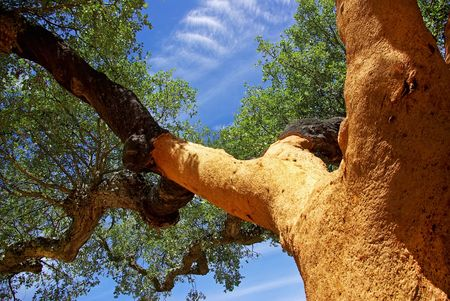 law of portugal: Oaks tree at Portugal. Stock Photo