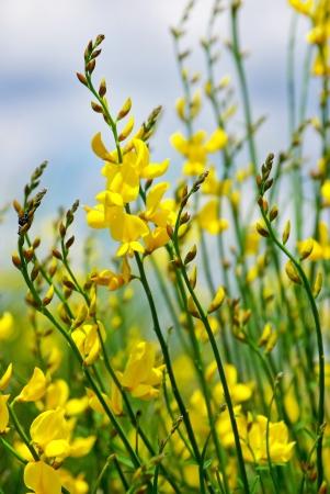 faboideae: Fiore giallo di ginestra selvatica.