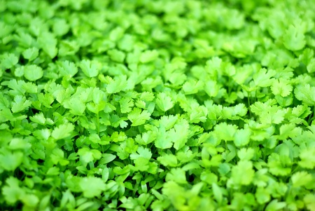 кинза: Texture of green cilantro.