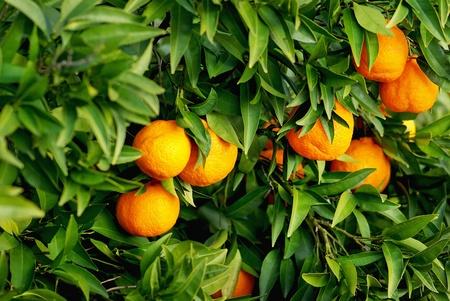 Mature tangerines on tree. Stock Photo - 8432948