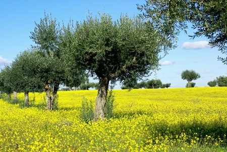 Olives tree in yellow field at Portugal. photo