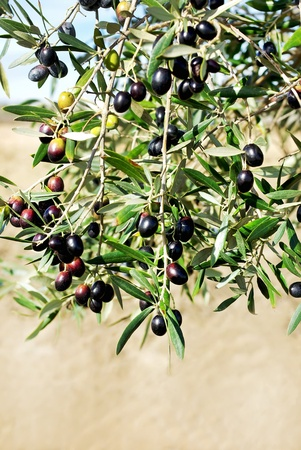 Mature olives on tree. photo