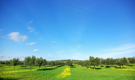 Olives tree in green field at soutt region of Portugal. Stock Photo - 8626669