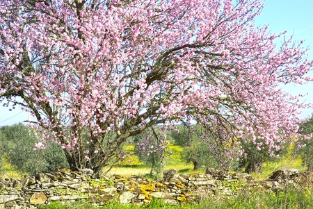 portugal agriculture: Almond tree at portuguese farm.