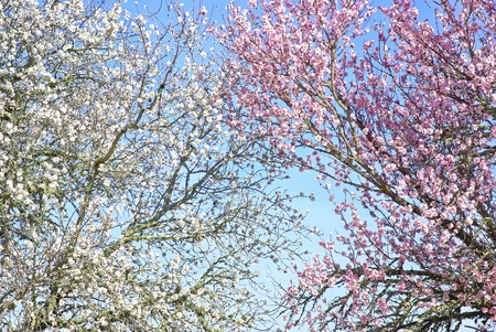 Background of almond tree branches. photo