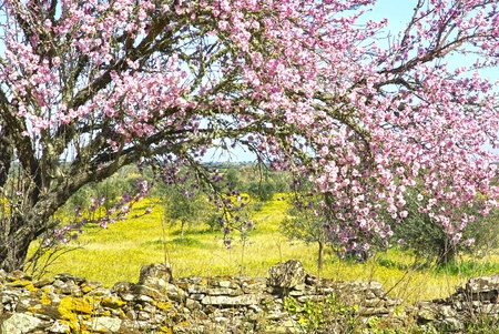 blossoming yellow flower tree: Almond tree at portuguese farm.