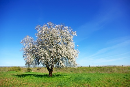 portugal agriculture: Lonely  almond tree in green field at Portugal.
