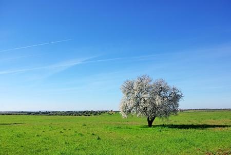 Almond tree in south of Portugal. Stok Fotoğraf
