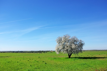Almond tree in south of Portugal. photo