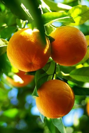 Oranges hanging on tree. Stock Photo - 9116395