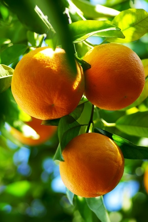 Oranges hanging on tree. photo
