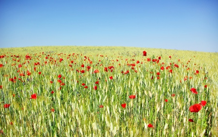 Poppies in  wheat field at Portugal. photo