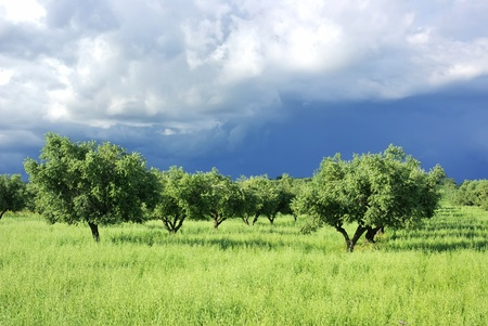 olive trees: Olives tree on green field at Portugal. Stock Photo