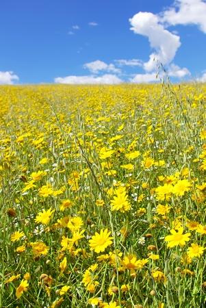 Yellow flower field, alentejo region, Portugal. Stock Photo - 9427475