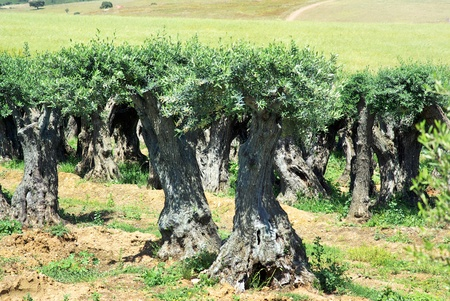 Trunks of very old olives trees. photo